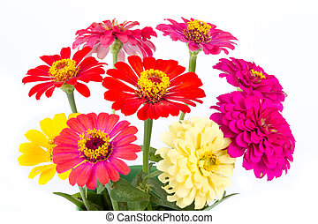Colorful Zinnias - Colorful vivid Zinnias on white...