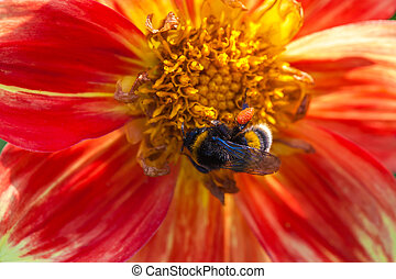 bumblebee on aster flower