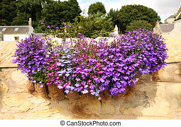 Hanging basket with lobelia flowers - Hanging basket with...