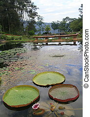Victoria amazonica grand lotus in lake