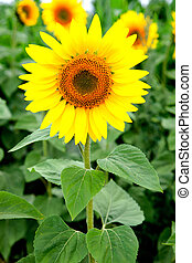Ideal weight achieved - Image of beautiful sunflower...