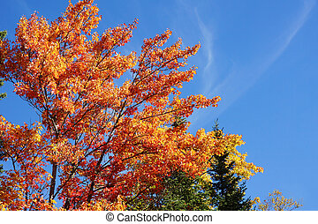 Sugar maple during fall - Beautiful orange and red leaves of...