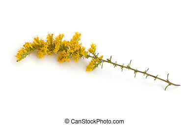 Goldenrod - Late Goldenrod (Solidago gigantea) on a white...