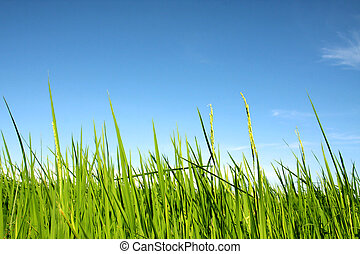 rice with blue sky - beautiful of green rice with blue sky...