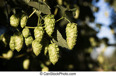 Hops Plants Buds Growing in Farmer's Field Oregon...