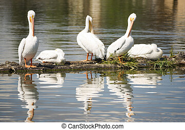 Pelican Group Birds Water Fowl Wildlife Standing Lake...