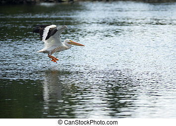 Pelican Bird Amimal Wildlife Flies into Landing Lake Klamath...