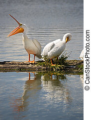 Pelican Pair Birds Water Fowl Wildlife Standing Lake Klamath...