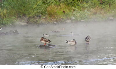 Ducks in the fog - Ducks swim in the river in a fog Early...