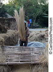 Rice is threshed/winnowed in Baidyapur, West Bengal, India....