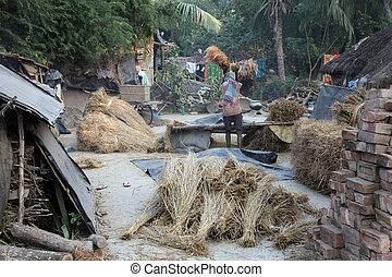 Rice is threshed/winnowed on Dec 02, 2012 in Baidyapur, West...