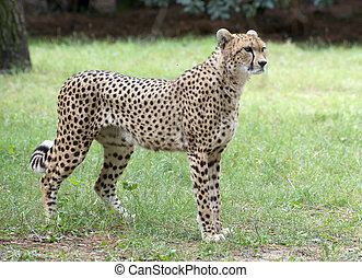cheetah - portrait of cheetah upright in a zoologic parc