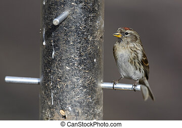 Lesser redpoll, Carduelis cabaret, single bird on feeder,...