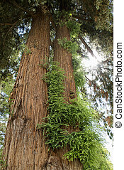 Redwood sequoia with growth. - Low angle of a California...