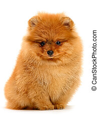 pomeranian puppy the age of 1,5 month isolated on white
