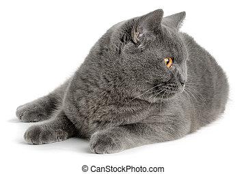 小貓,  scottish
