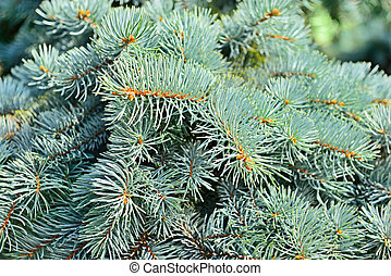 fir tree - blue fir tree