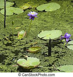 Water lilies - Blooming purple water lilies, Australia