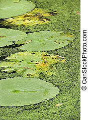 Water lily pads - Water lily pads, Australia