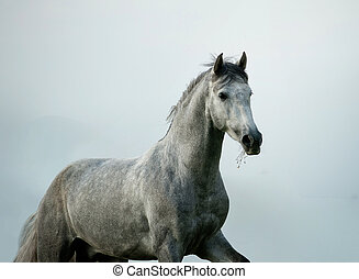 andalusian stallion - young andalusian stallion