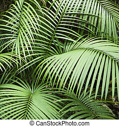 Fronds - Tropical plant fronts in Daintree Rainforest,...