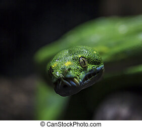 Green snake.  - close up Green snake.