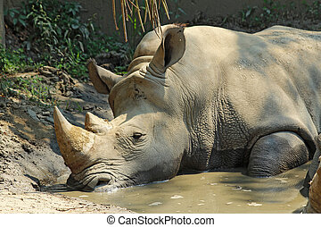 White rhinoceros in a wallow at the Indianapolis Zoo - A...