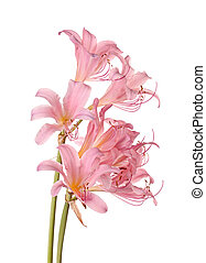 Two stems of pink-flowered Lycoris squamigera, also called...