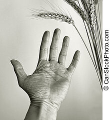 hand of hungry man - hand outstretched towards ear of corn