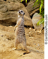 Suricate or Meerkat - small mammal which belong to the...
