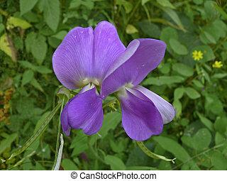 Halunda, Vigna vexillata flowers, Kumbharli ghaat,...