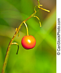 lone berry - unknown berry