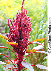 Red amaranth (Amaranthus cruentus) - Red amaranth...