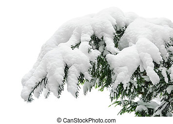 Snow covered fir branch - Fir branch heavily covered with...