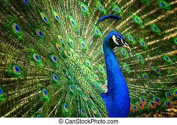 Fascinating peacock - Proud male Asian peacock shows off his...