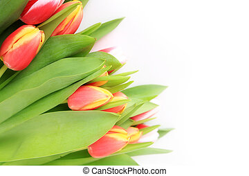 Tulpen - isoliert mit weiem Hintergrund