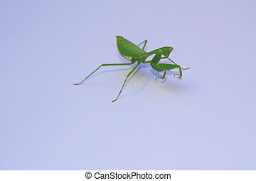 Praying Mantis - Giant Green African Mantis