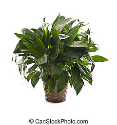 Houseplant on white background - Green houseplant in basket...