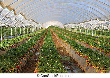 Greenhouses plantations