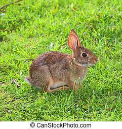 Scared rabbit - Cottontail rabbit keeping an eye on things...