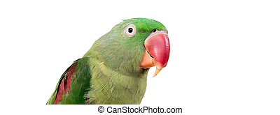 Big green ringed or Alexandrine parrot on white background
