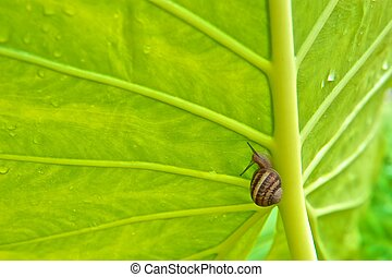 Green Elephant Ear Leaf with Snail - Green Elephant Ear leaf...