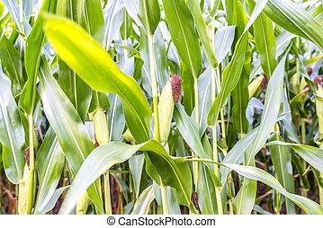 campo, maíz, detalle