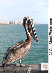 Wild Florida Pelican - A brown Pelican bird posing on the...
