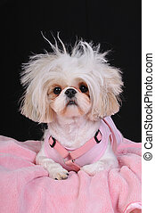 Shih Tzu Dog Bad Hair Day - A Shih Tzu Dog with wild hair,...