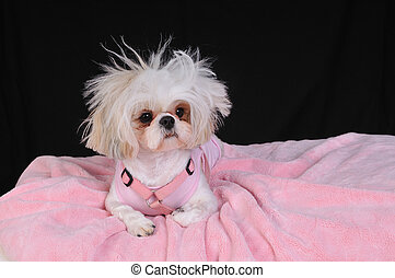 Shih Tzu Dog Bad Hair Day - A Shih Tzu Dog with wild hair,...