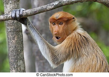 Proboscis monkey in the mangrove in Labuk Bay, Borneo