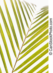 Palm frond. - Palm frond with white background.