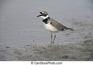 Little-ringed plover, Charadrius dubius, spring, Spain...