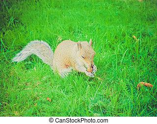Retro look Squirrel - Vintage looking Squirrel scientific...